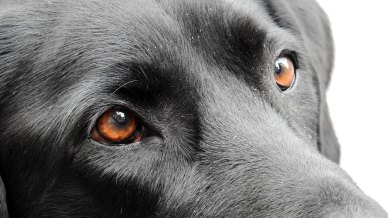Dog Vision - How Your Labrador Sees The World