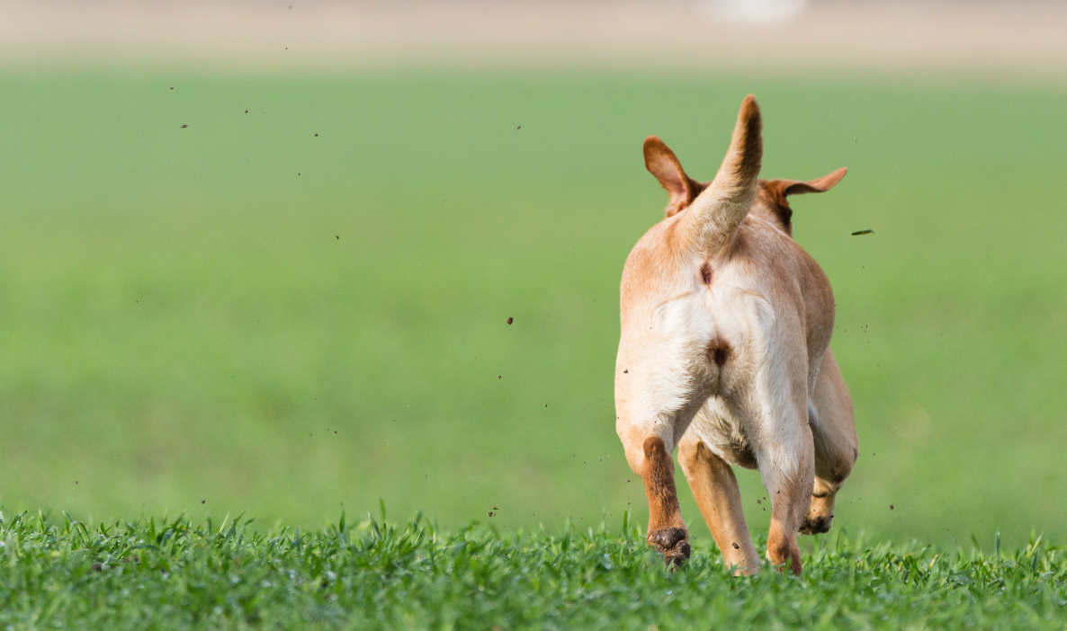 Dogs Running Away - How To Stop Them - The Labrador Site (1186 x 702 Pixel)