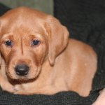 Fox Red Lab Your Guide To The Fox Red Labrador Retriever