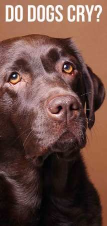 Lab that looks like they are about to have tears. dog eye tears