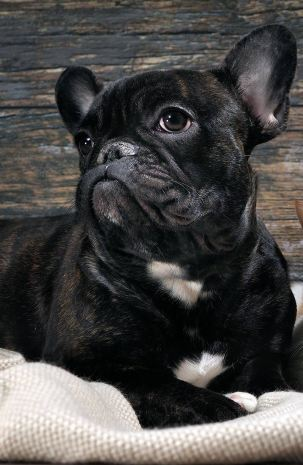 Dogs like this French Bulldog are prone to eye problems