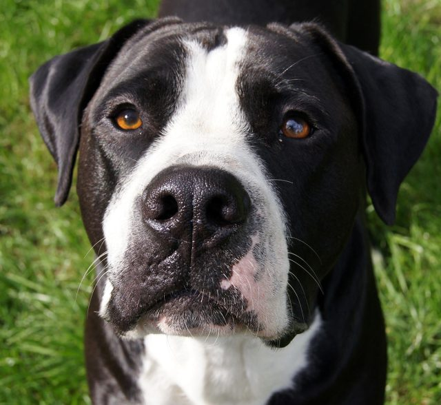 bulldog lab mix - your guide to the bullador cross breed