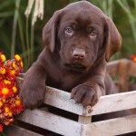 Chocolate Lab Names Great Ideas For Naming Your Puppy