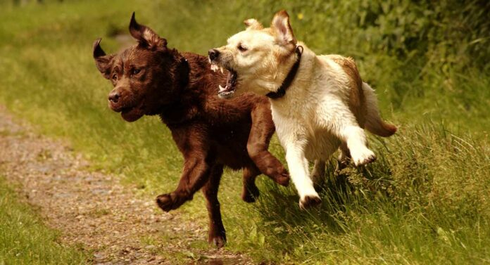 One dog is about to attack another dog while running.