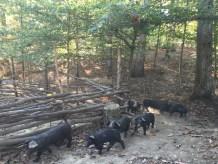 new litter of pigs_fall foriaging_pastured pork_acorns