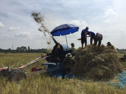 Threshing the rice in a rented machine