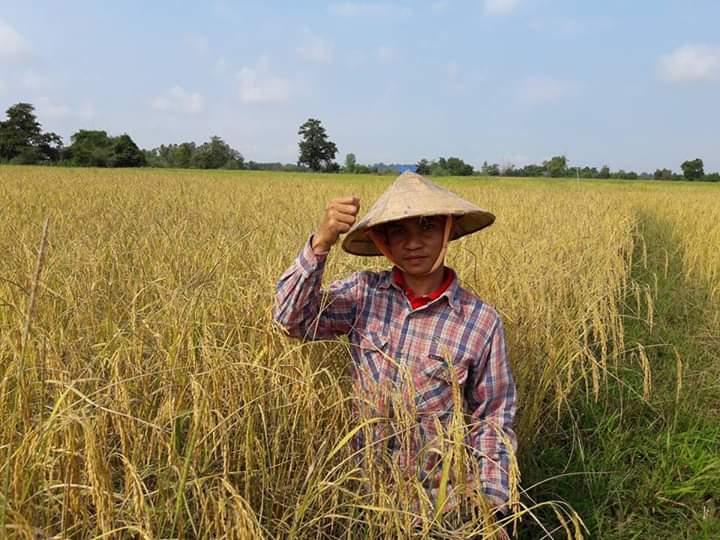 Harvest rice in 2016