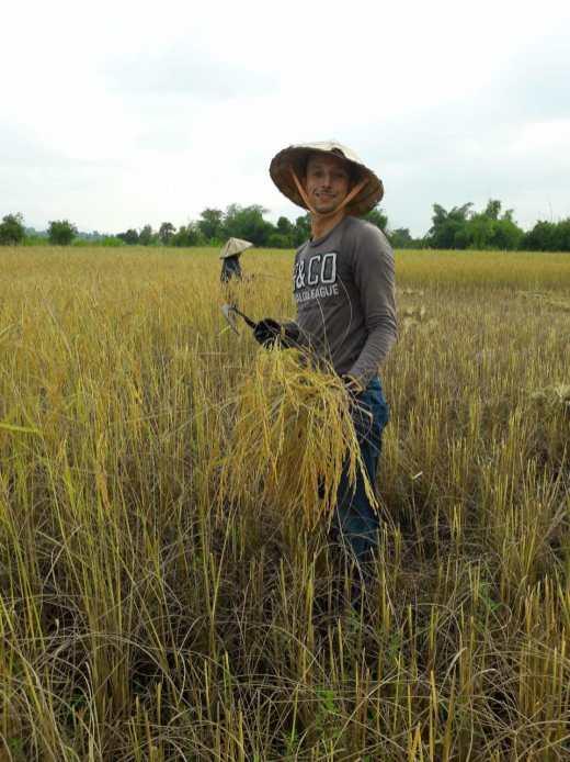 ... harvest the rice...