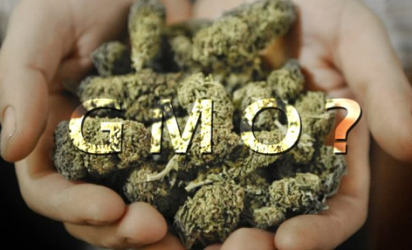 Cannabis May Already be Genetically Modified - The Last American Vagabond