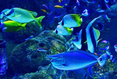 Ikan Manfish Angelfish Budidaya Pakan Keuntungan Tips