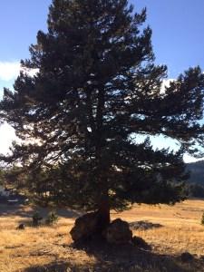 straight tree