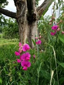 bright pink snap blossom