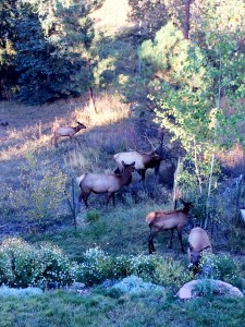 elk eating our flowers