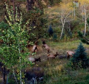 sparing elk