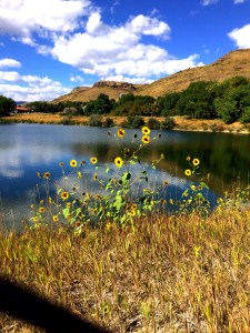 sunflowers by the lake