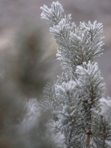 snow covered needles on pine