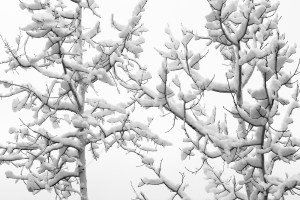 snow-on-Aspen-Trees