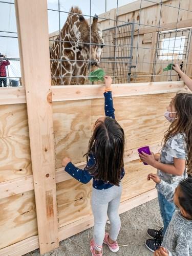Feeding Giraffe at Jerry Smith Farm in Somers, WI