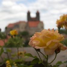Quedlinburg Roses