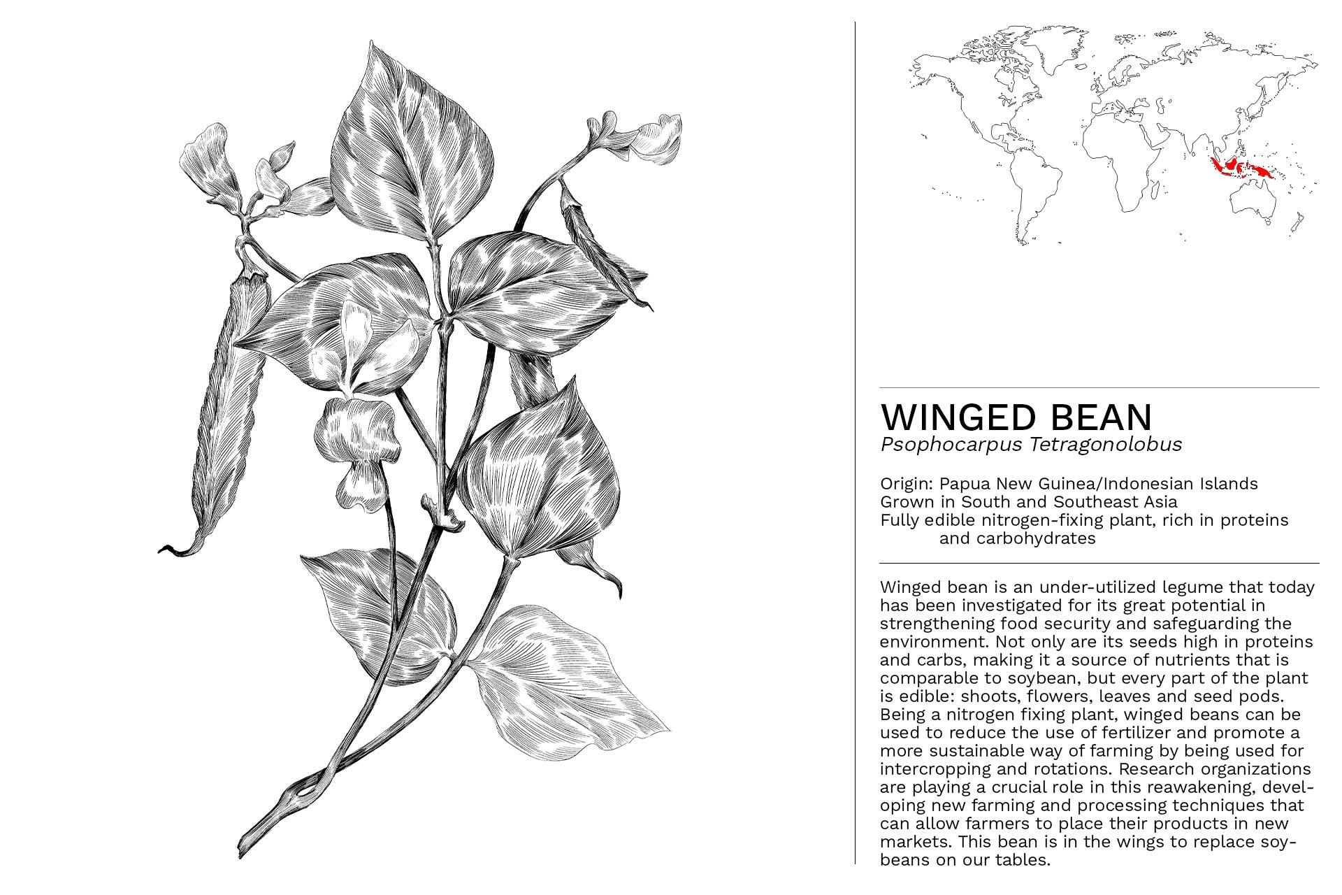 WINGED_BEAN_Slideshow
