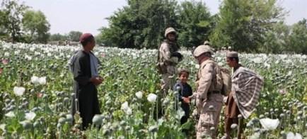 afghan-poppy-field[1]