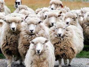 herd[1]