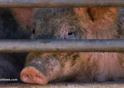 Dirty-Pig-Livestock-Slaughterhouse-Cage-Bars