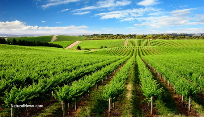 Vineyards-Grapes-Crops-Rows-Hills-Wine