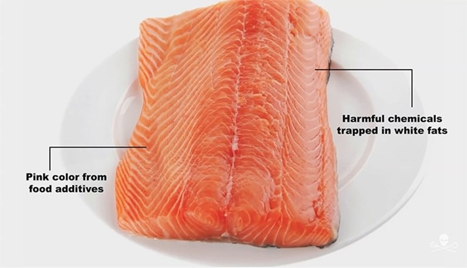 salmon farmed