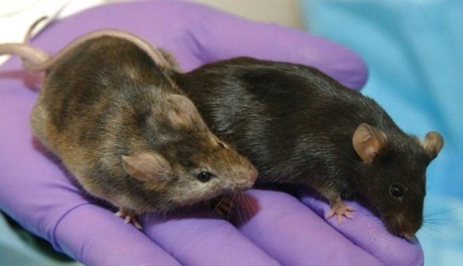 GM rats