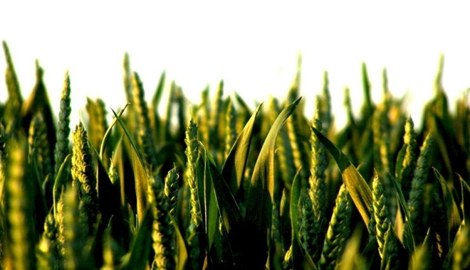 GMO green wheat