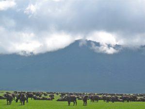 Herd in the crater