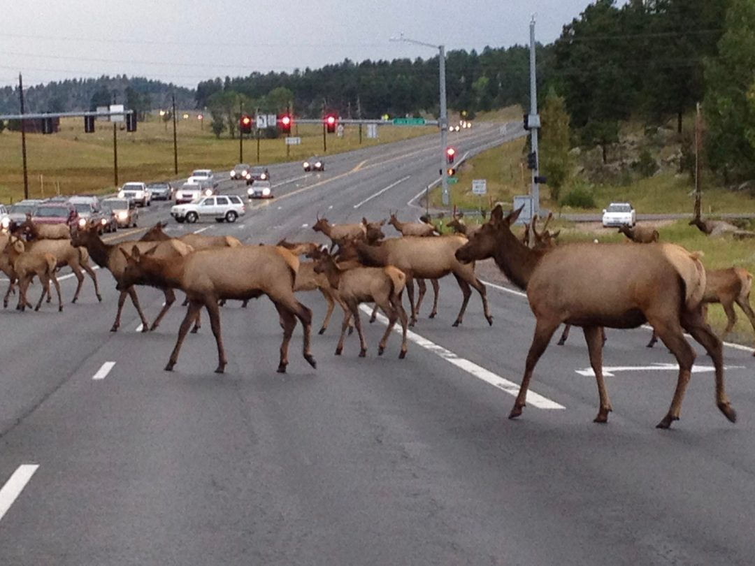 photo of herd of elk crossing highway in Evergreen Colorado at rush hour