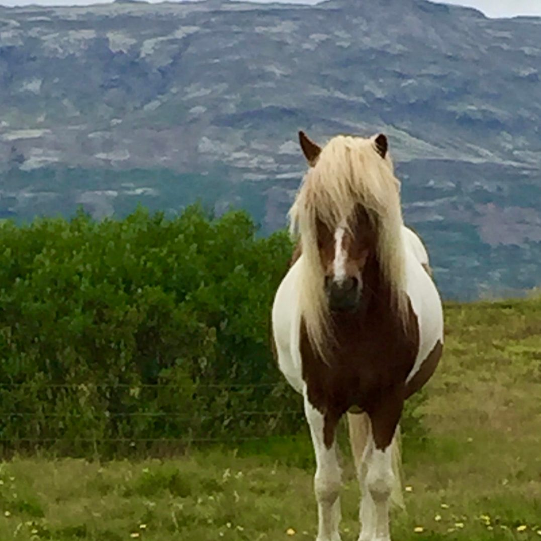 photo of icelandic pony on hillside