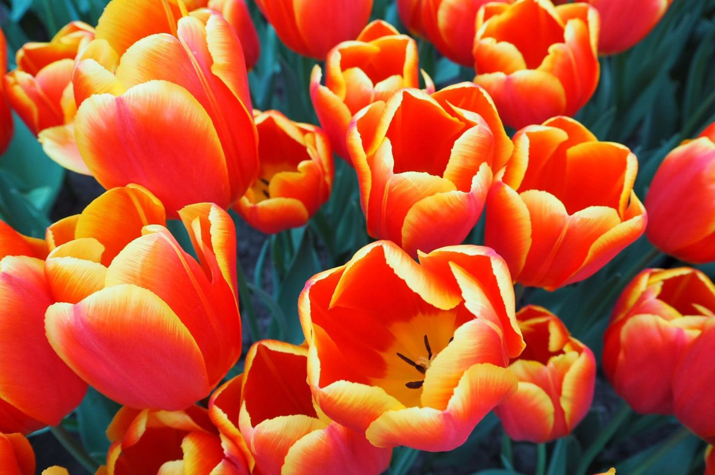 Choice Tulips Keukenhof Tulip Gardens