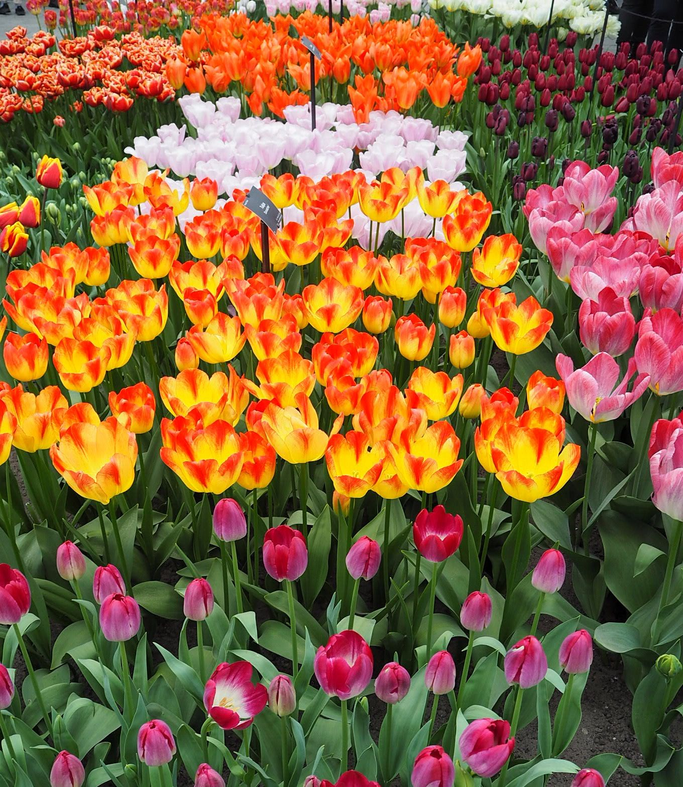 Colourful Tulips Keukenhof Tulip Gardens