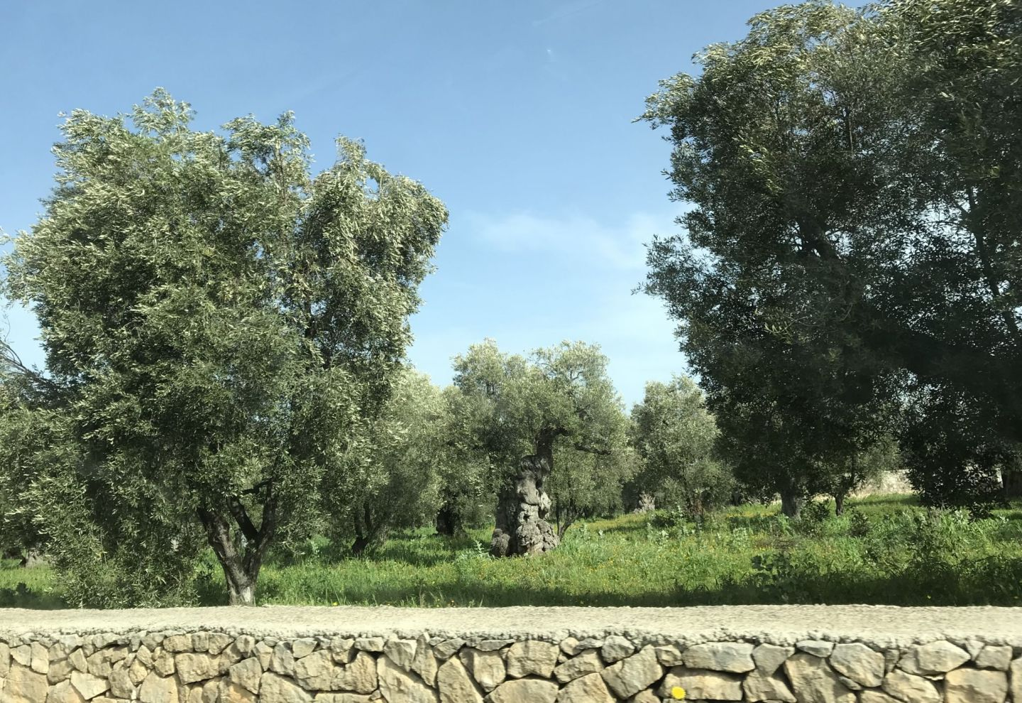 Olive Trees in Ostuni Southern Italy