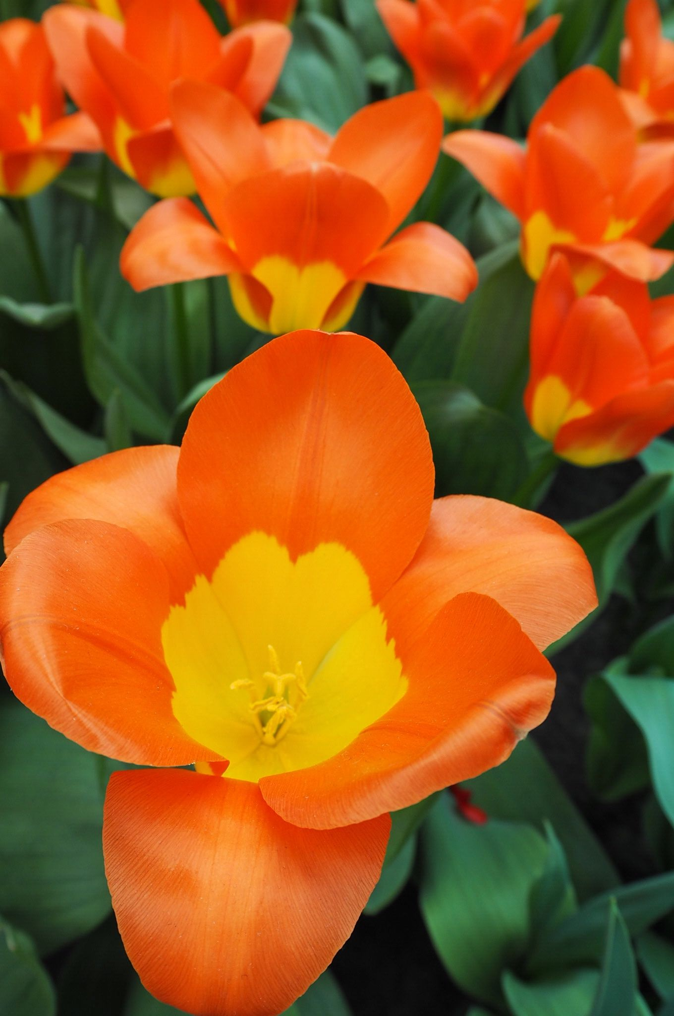 Orange Oracle Tulip Keukenhof Tulip Gardens