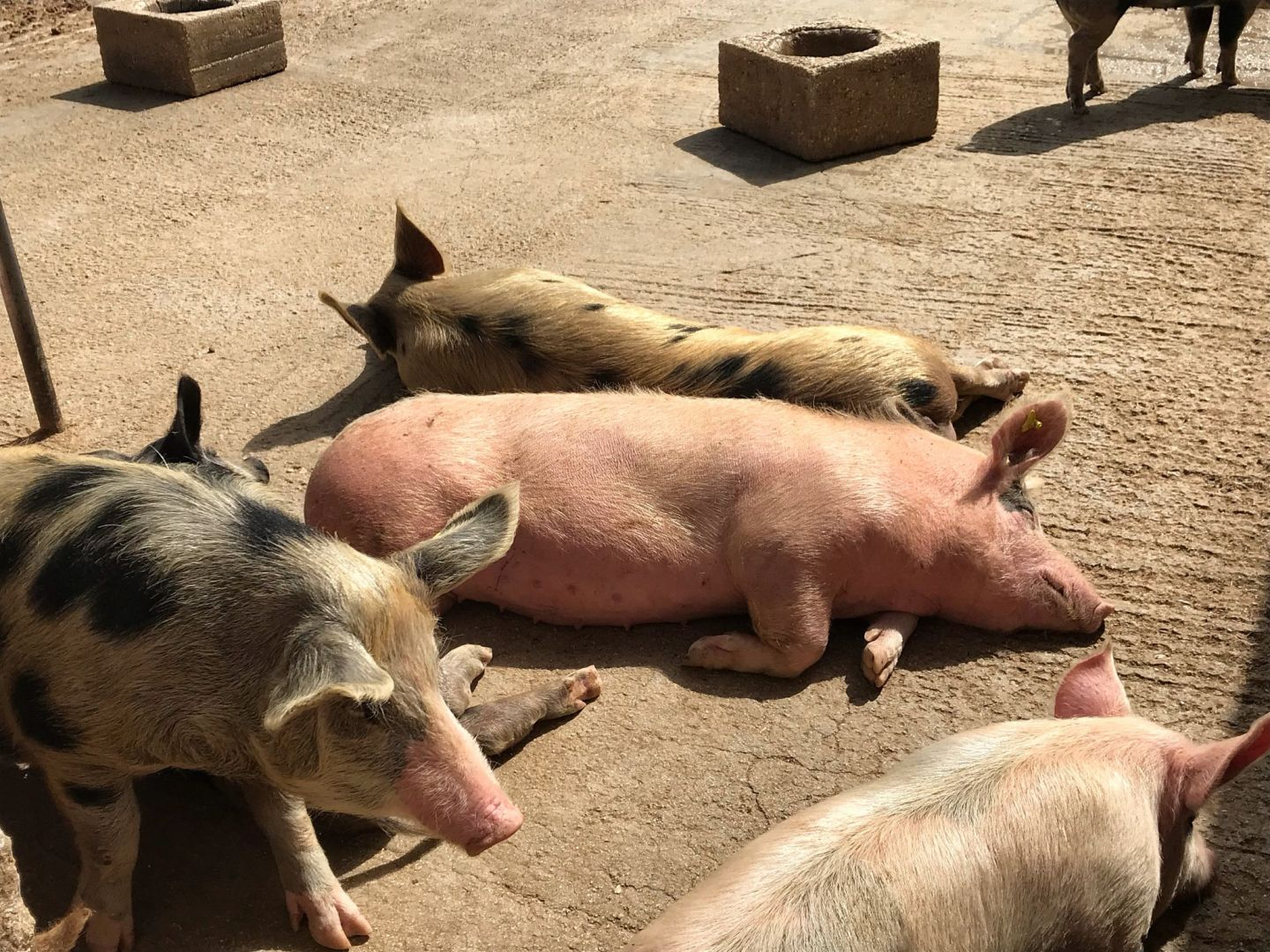 Pigs at Puglian Masseria in Southern Italy