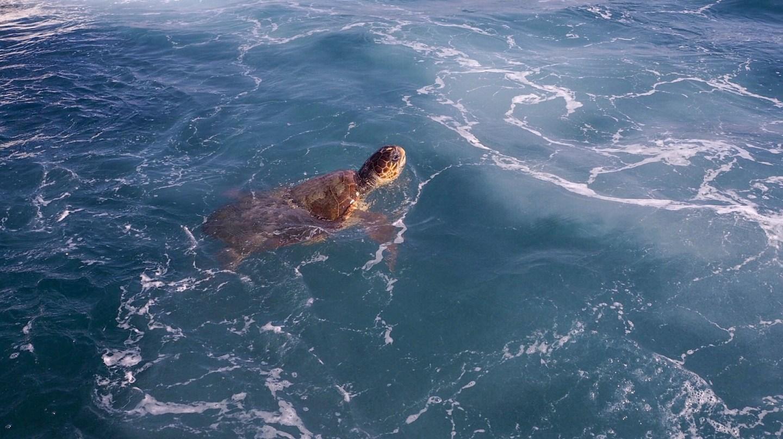 swimming Loggerhead turtle Zakynthos Zante Greek Island