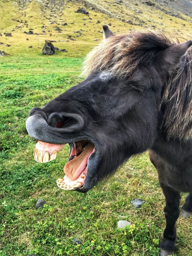Black Beauty Icelandic Horse giving me a cheesy grin