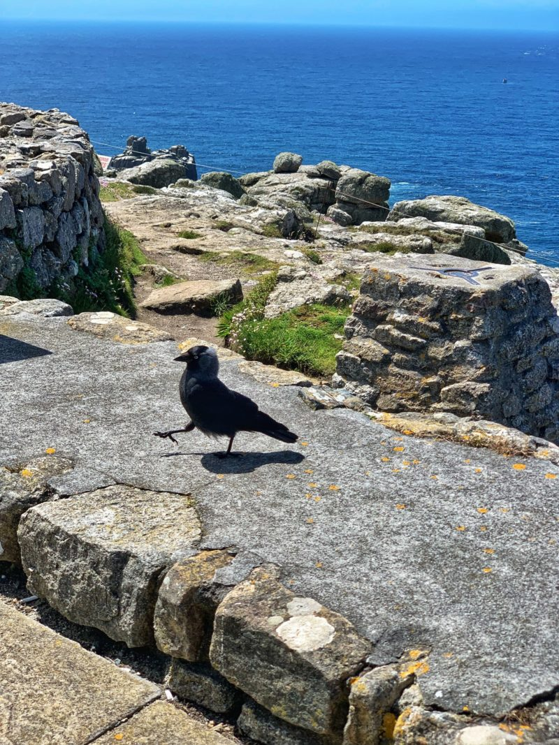 Raven-Lands-End Cornwall wildlife