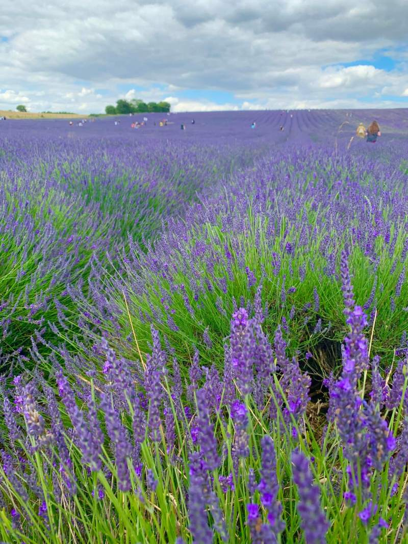 how_to_get_to_hitchin_lavender_farm_hertfordshire