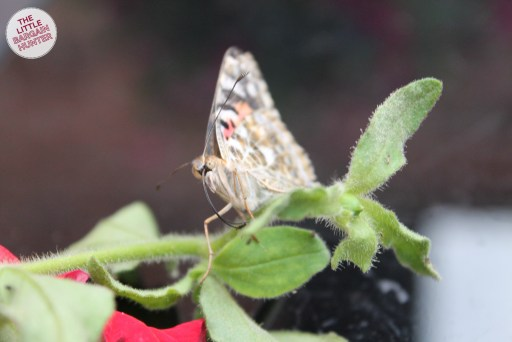 Insect Lore Butterfly Garden Butterfly