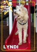 Lyndi, our Golden Retriever/Poodle mix