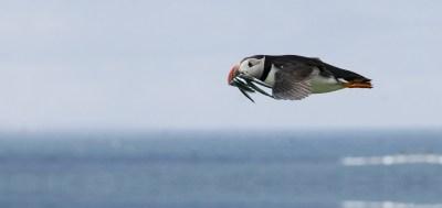 Puffin at Skomer Island With Fish