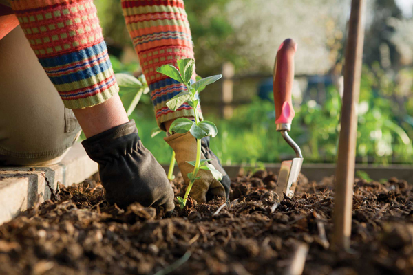 A gardener plants a broad bean plant in a raised bed.