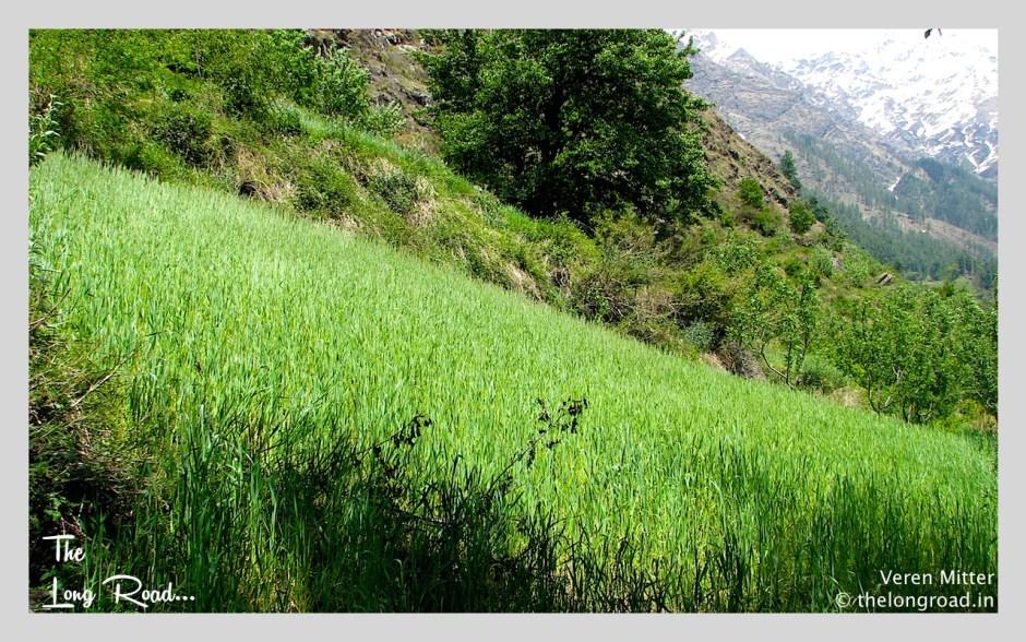 Green field on way to Kheerganga