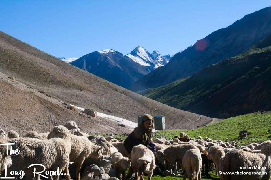 Shepherd grazino Sheep in meadows of Posh part and Panchtarni. Amarnath yatra