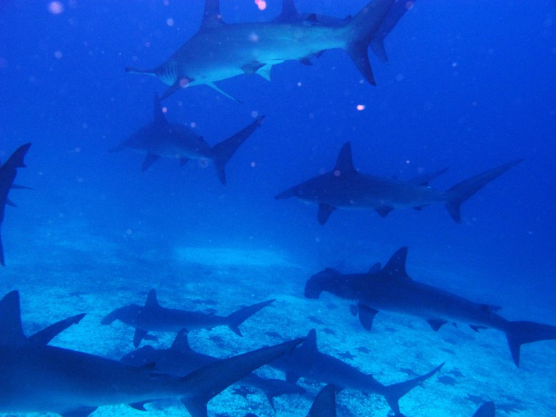 No day was a bad day in the Galapagos when you get to dive with these babies!
